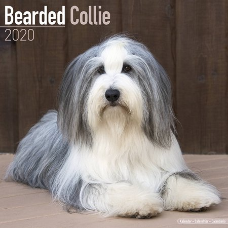 Bearded Collie Calendar 2020 - Bearded Collie Dog Breed Calendar - Bearded Collies Premium Wall Calendar 2020