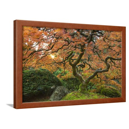 Maple tree at the Japanese Gardens in autumn in Portland, Oregon, USA Framed Print Wall Art By Chuck Haney](Halloween Stores In Portland)