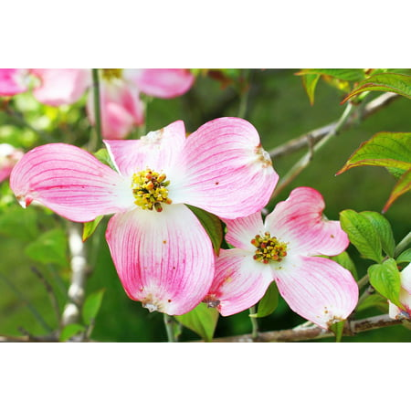 LAMINATED POSTER Flower Dogwood Plant Tree Pink Flowers Foliage Poster Print 24 x 36