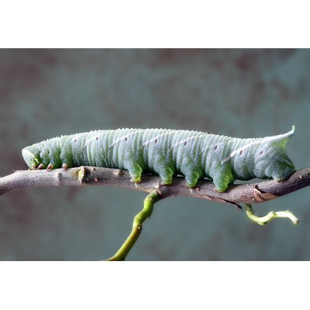 LAMINATED POSTER Macro Green Insect Caterpillar Larva Nature Poster 24x16 Adhesive Decal
