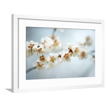 Some of the Early Fruit and Cherry Blossoms Blooming in Washington Dc Framed Print Wall Art By David -