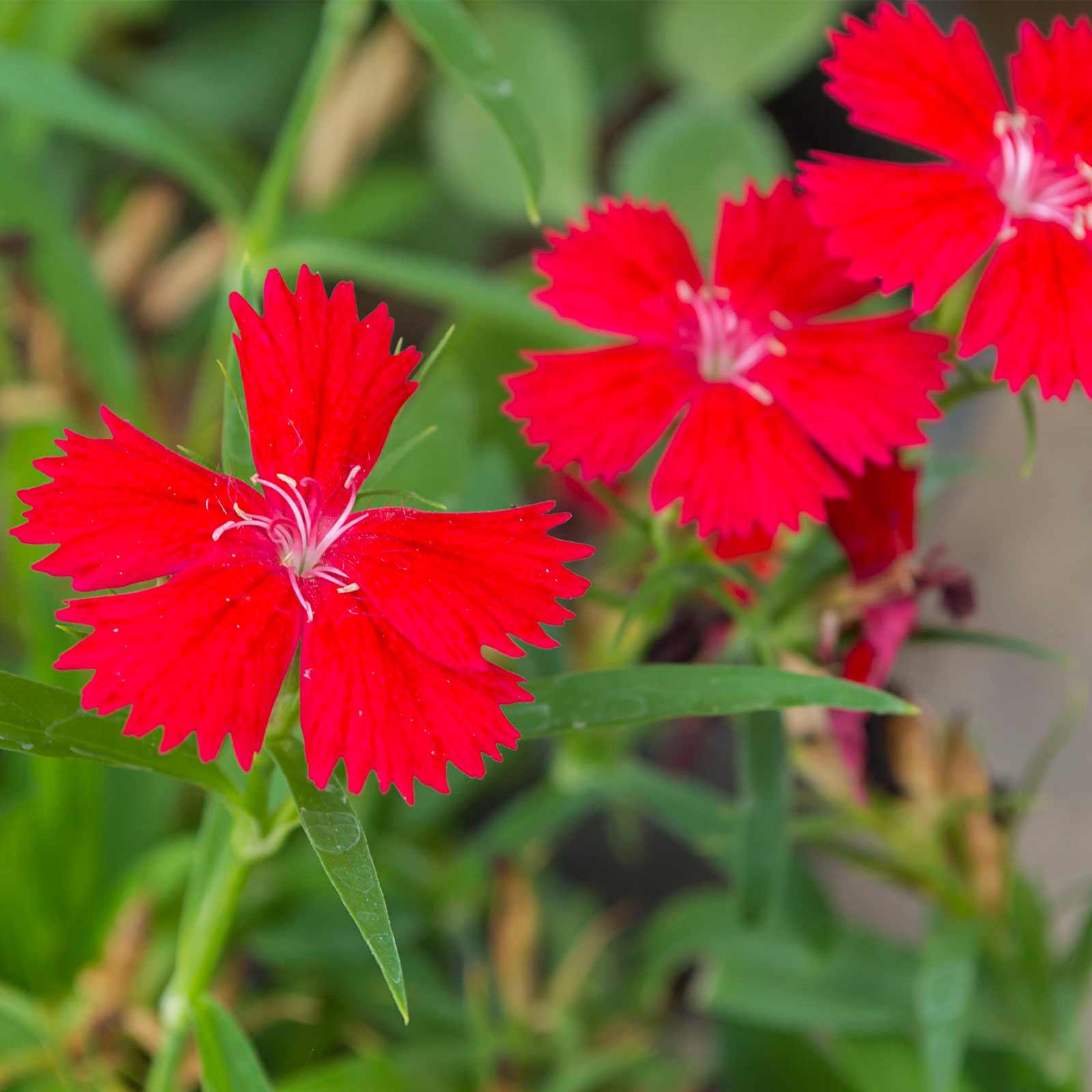 Dianthus Zing Rose Flower Seeds - Deep Red - 1000 Seeds - Perennial Flower Garden Seeds - Dianthus deltoidess