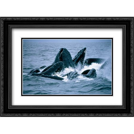 Humpback Whales gulp feeding on herring school, Southeast Alaska 2x Matted 24x18 Black Ornate Framed Art Print by Nicklin, Flip