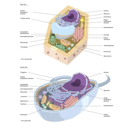 Comparative illustration of plant and animal cell anatomy Poster ...