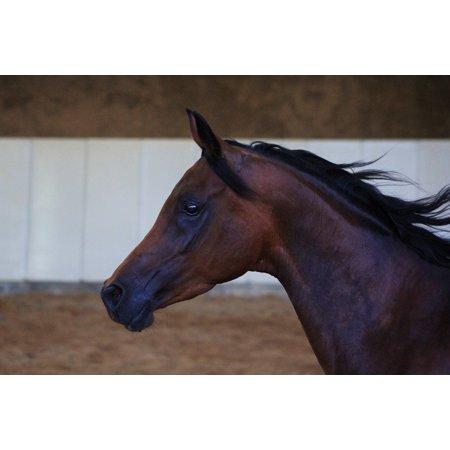 LAMINATED POSTER Horse Head Arabs Horse Stallion Arabian Horse Poster Print 11 x 17