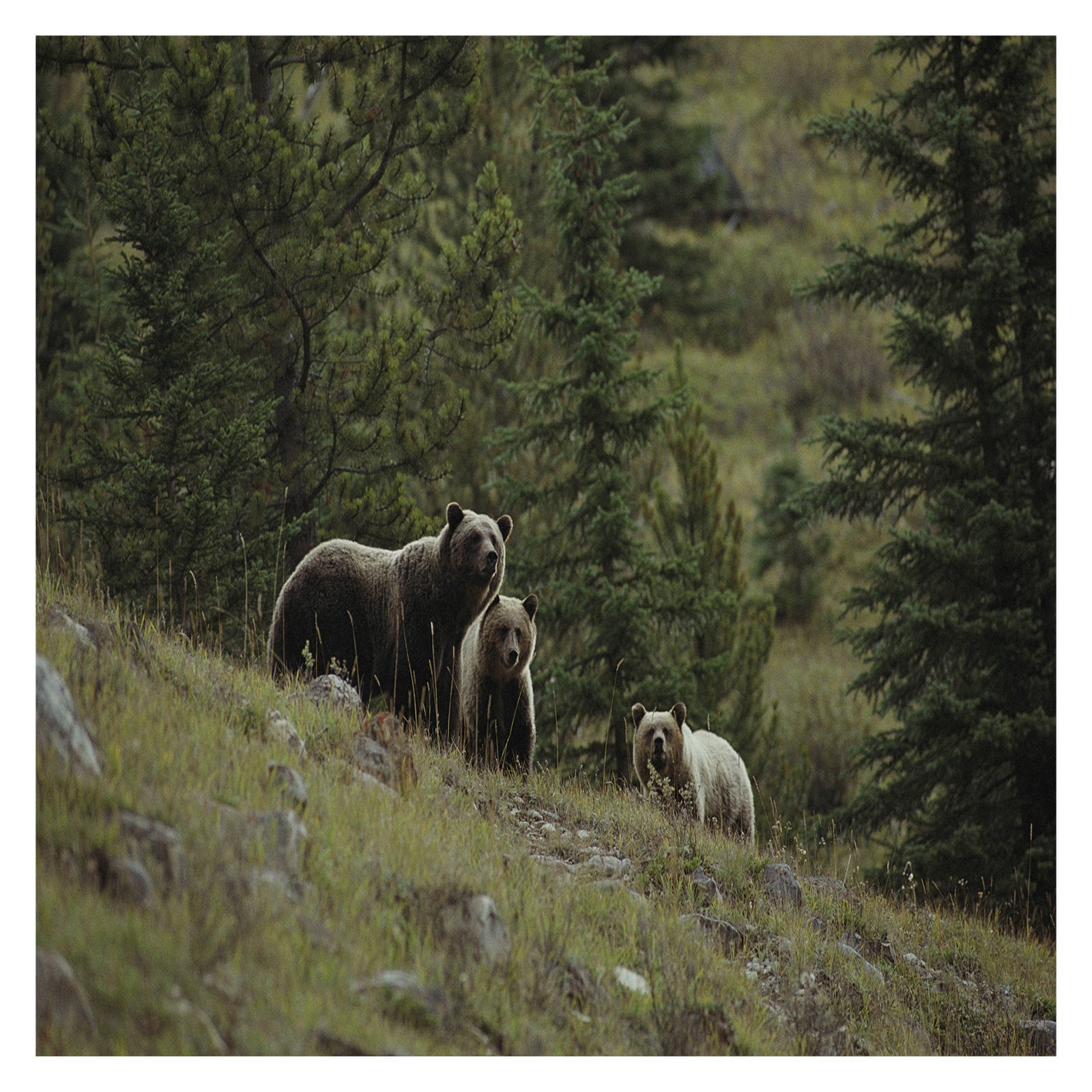 National Geographic Bears Wall Mural by Brewster