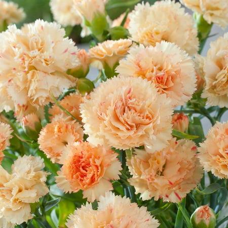 Image of 2.5QT Dianthus Bling Bling