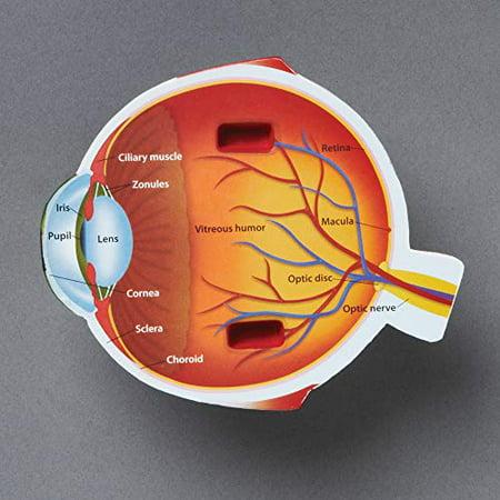 Learning Resources LER1907 Cross-Section Eye Model - image 3 de 4