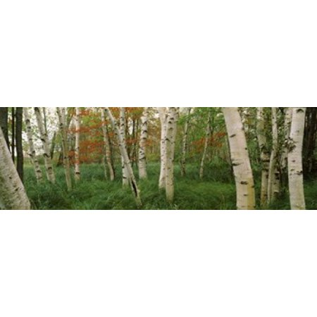 Downy birch (Betula pubescens) trees in a forest Wild Gardens of Acadia Acadia National Park Maine USA Canvas Art - Panoramic Images (18 x 6) ()