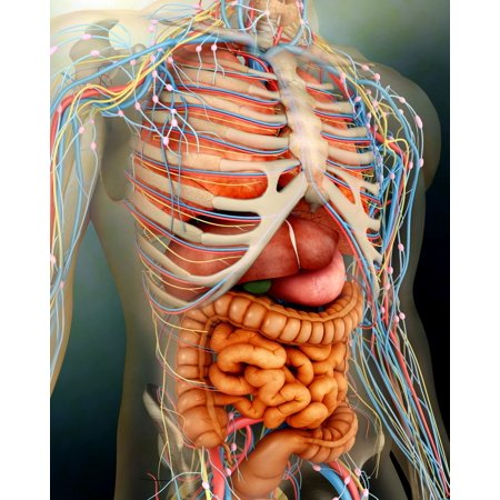 Perspective view of human body whole organs and bones Stretched Canvas - Stocktrek Images (13 x