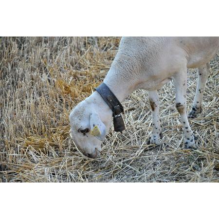 Canvas Print Flock Farm Sheep Nature Animal Goat Farm Animal Stretched Canvas 10 x - Goat Farm Arts Center Halloween