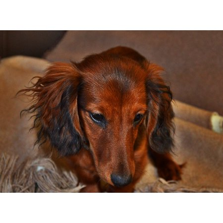 Canvas Print Long Hair Dachshund View Brown Small Dog Stretched Canvas 10 x 14 ()