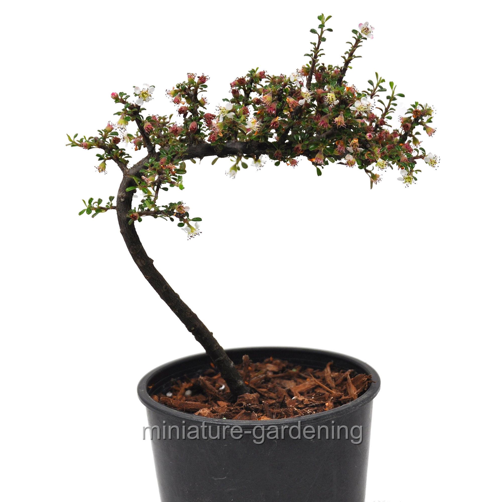 Cotoneaster Microphyllus Thymifolius Thyme Leaf Cotoneaster Walmart Com Walmart Com