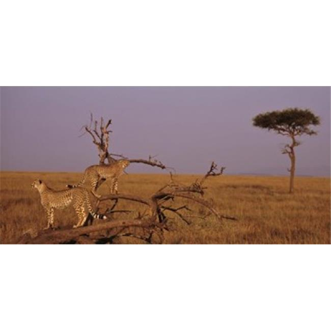 Panoramic Images PPI74659L View of two Cheetahs in the wild  Africa Poster Print by Panoramic Images - 36 x 12