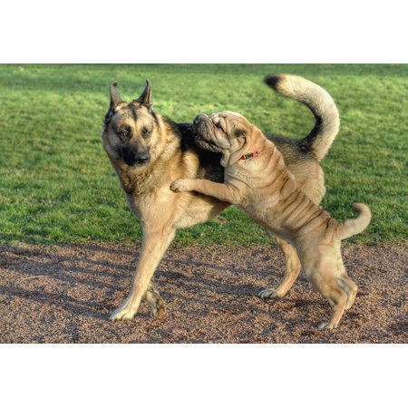 Framed Art for Your Wall Animal Play German Shepherd Sharpei Dog 10x13 Frame (Shepherd's Crook For Sale)