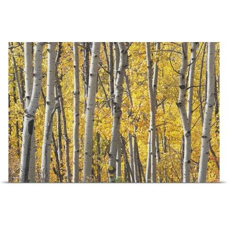 Great Big Canvas Michael Interisano Poster Print Entitled Aspen Trees In Autumn  Kananaskis Country  Alberta  Canada