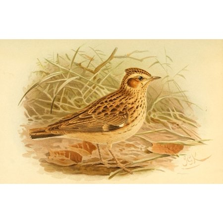Birds of the British Islands 1885 Lark Wood Stretched Canvas - John G Keulemans (18 x (Lark Wool)