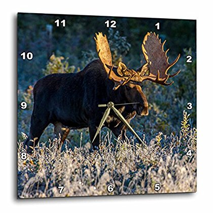 Bulls Desk Clock - 3dRose Bull moose in early morning light and frost in Riding Mountain National Park, Manitoba, Canada, Wall Clock, 13 by 13-inch