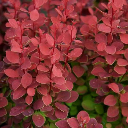 Orange Rocket Barberry | Live Deciduous Shrub with Colorful (Deciduous Tree Kit)