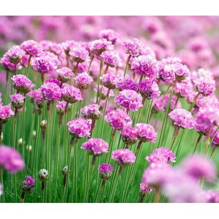 Little Penny Thrift Perennial - Armeria - Fairy Garden Plant - 2.5
