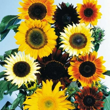 Sunflower Wild Flower Garden Seeds - All Sorts Mix - 4 Oz - Annual Wildflower Gardening Seeds