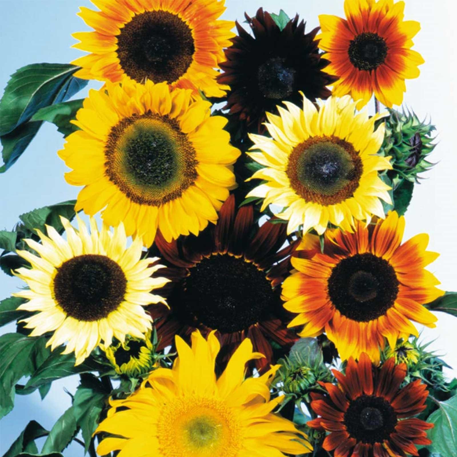 Sunflower Wild Flower Garden Seeds - All Sorts Mix - 4 Oz - Annual Wildflower Gardening Seeds