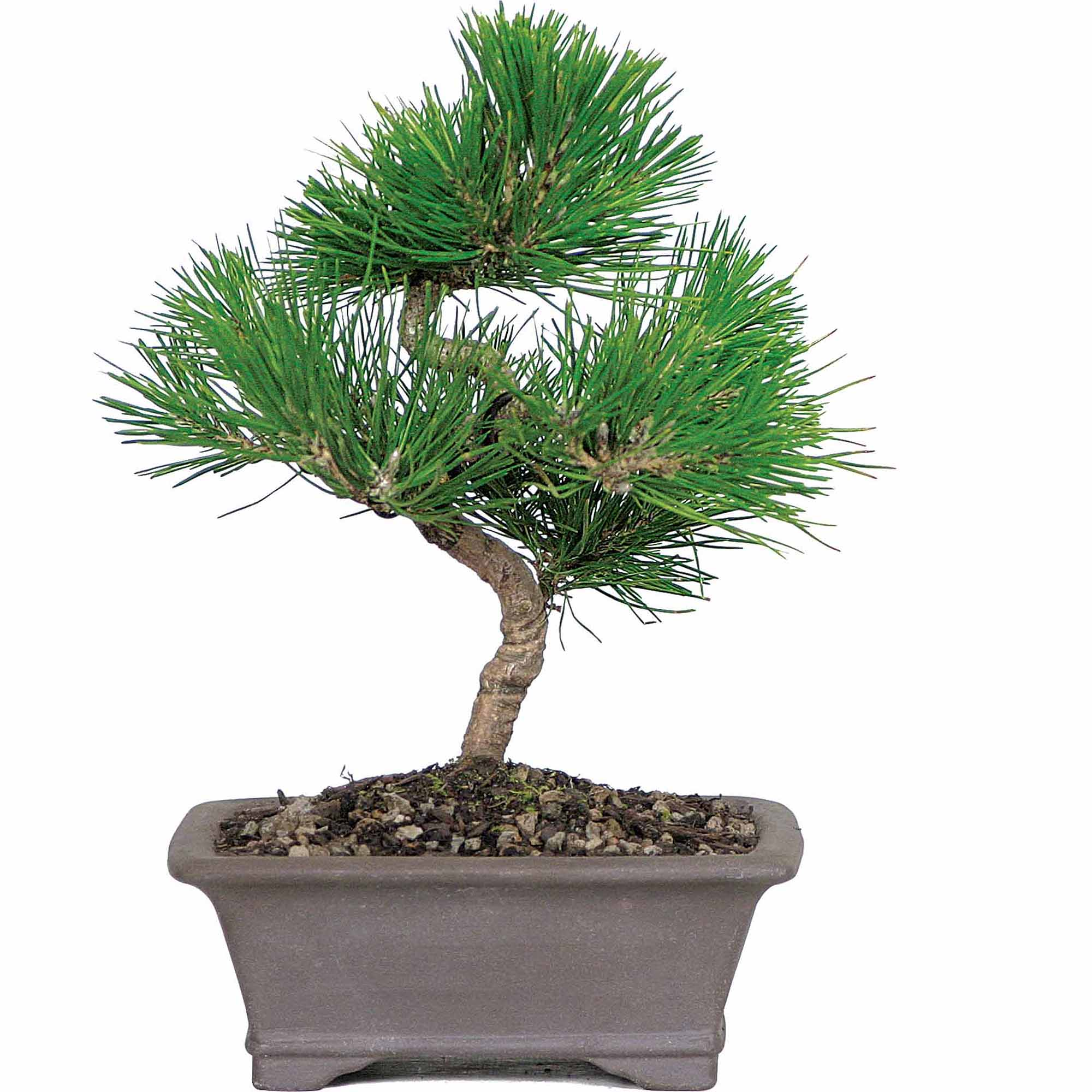 Japanese Black Pine Bonsai Tree Walmart Com Walmart Com
