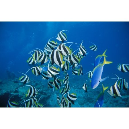 Fiji Schooling Longfin Bannerfish  Heniochus Acuminatus  Diver Background Canvas Art   Dave Fleetham  Design Pics  19 X 12