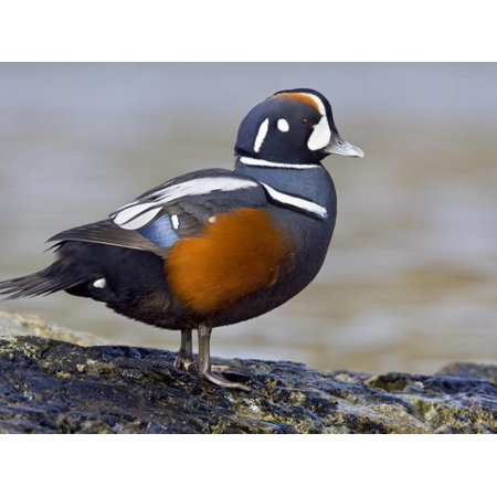 Male Harlequin Duck (Histrionicus Histrionicus) Perched on a Rock, Victoria, BC, Canada Print Wall Art By Glenn Bartley