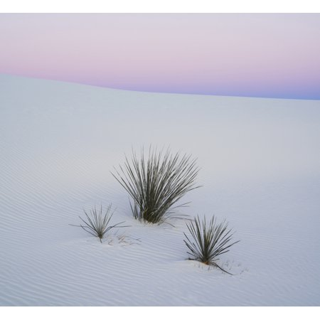 Soaptree Yucca  Yucca Elata  In Predawn Light At Sand Dune White Sands National Monument New Mexico Usa Canvas Art   Panoramic Images  24 X 24
