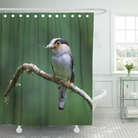 SUTTOM Blue Serilophus Lunatus Silver Breasted Broadbill Yellow Atricapilla Aussenaufnahme Shower Curtain 60x72 inch - image 1 de 1