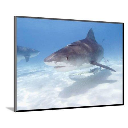 Pewter Sharks (Tiger Sharks, Northern Bahamas Wood Mounted Print Wall Art By Stuart Westmoreland )