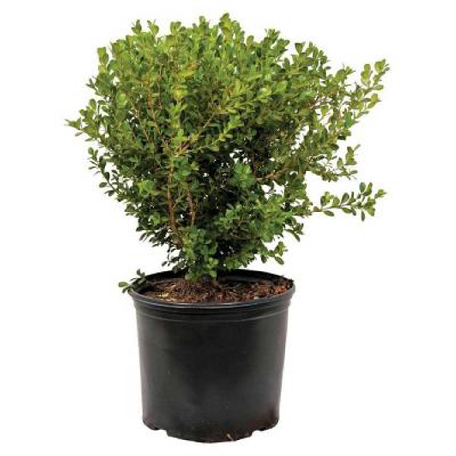 japanese boxwood buxus microphylla japonica evergreen