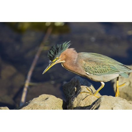 Green Heron Prowling the Shore of Lake Murray, San Diego, California Print Wall Art By Michael (Best Place To Score Heroin In San Francisco)