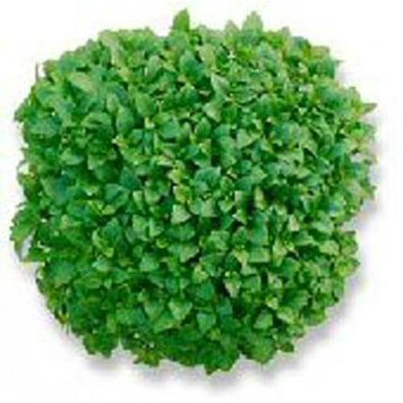 Basil Dwarf Greek Great Garden Herb 100 (Geek Flowers)