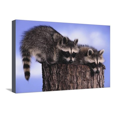 Two Raccoons Stretched Canvas Print Wall Art By DLILLC ()