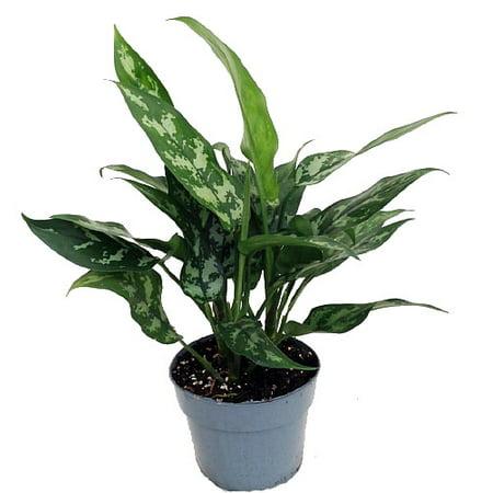 Maria Chinese Evergreen Plant - Aglaonema - Low Light - 6