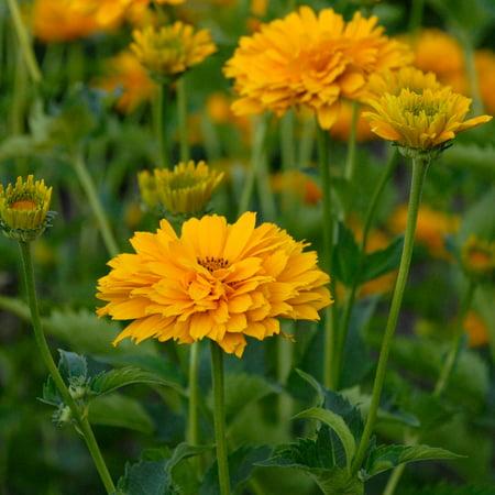 Summer Sun Heliopsis Flower Garden Seeds 1000 Seeds Perennial