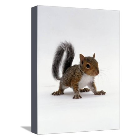 Baby Grey Squirrel, Portrait Stretched Canvas Print Wall Art By Jane Burton