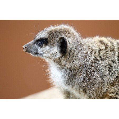 LAMINATED POSTER Small Mongoose Nature Cute Meerkat Wild Animal Poster Print 24 x 36