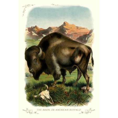 Unknown Buffalo - The Bison or American Buffalo 1900 Stretched Canvas - Unknown (24 x 36)