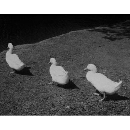 Three ducks in a row Canvas Art -  (24 x 36)