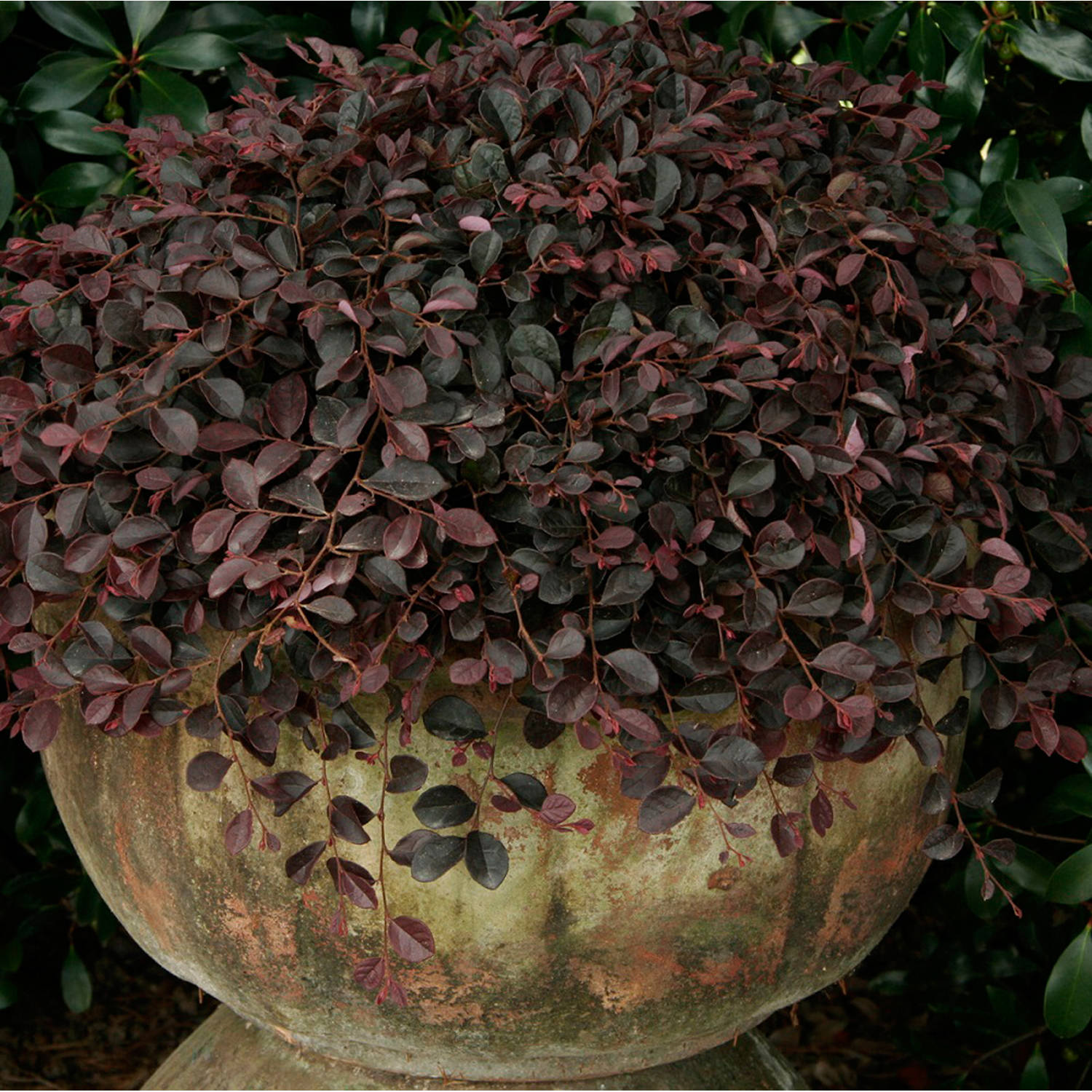 Purple Pixie Dwarf Weeping Loropetalum, Live Plants