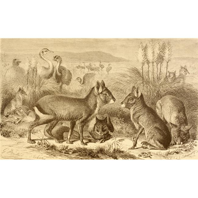 Posterazzi DPI1877769LARGE A Family of Patagonian Maras Or Patagonian Cavies From La Vida De Los Animales Published Spain Circa 1885 Poster Print, 36 x 22 - Large - image 1 of 1
