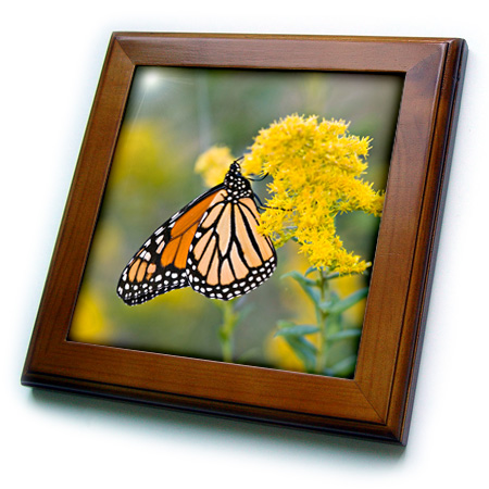 3dRose Monarch on Goldenrod, Solidago sp. Marion, Illinois, USA. Framed Tile, 6 by 6-inch by 3dRose