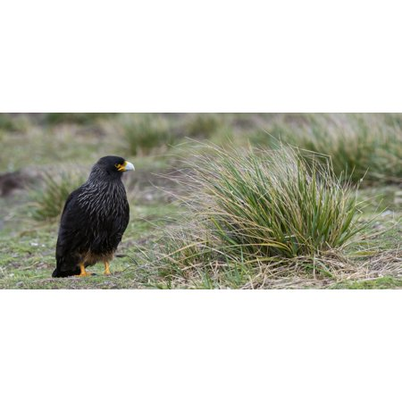 Close-up of Striated Caracara (Phalcoboenus australis) Sea Lion Island Falkland Islands Canvas Art - Panoramic Images (27 x 9)