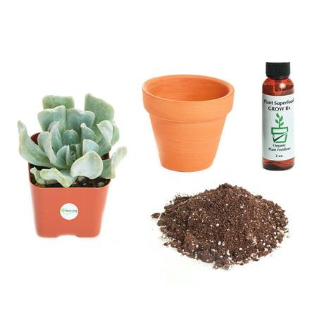 Echeveria Plant - Shop Succulents Echeveria Runyonii 'Topsy Turvy' 2In Plant Kit