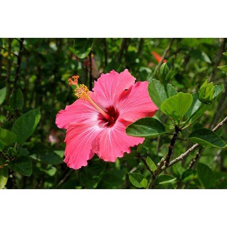 LAMINATED POSTER On The Branch Natural Hibiscus Flower Botany Red Poster Print 24 x 36