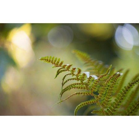 Fern Canvas Print (Canvas Print Green Close Macro Fern Detail Forrest Garden Stretched Canvas 10 x)