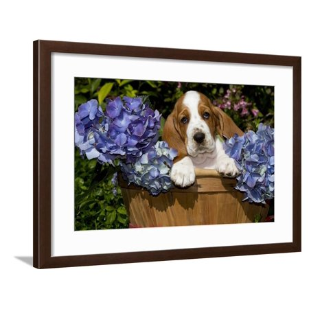 Basset Hound Pup in Flowers, Burlington, Wisconsin, USA Framed Print Wall Art By Lynn M. Stone ()